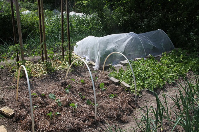 Broccoli plantet efter kartofler. I baggrunden fiberdug over et bed med store blomkålsplanter.