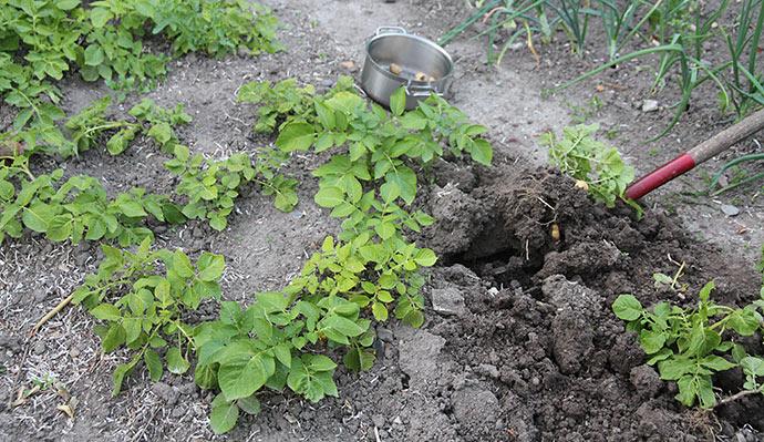 De første kartofler graves op på friland Grundlovsdag.