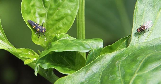 Til venste mariehønelarve, som er en stor grådig larve.
