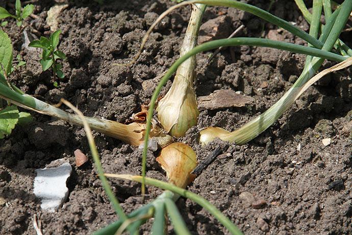 Gule skalotter, som ikke var helt høstklare.