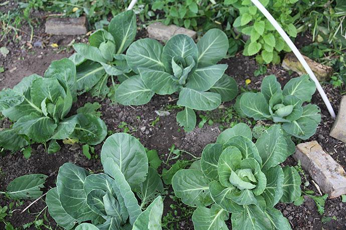 Hipsi spidskål er små planter - jeg kunne fint have plantet tættere.
