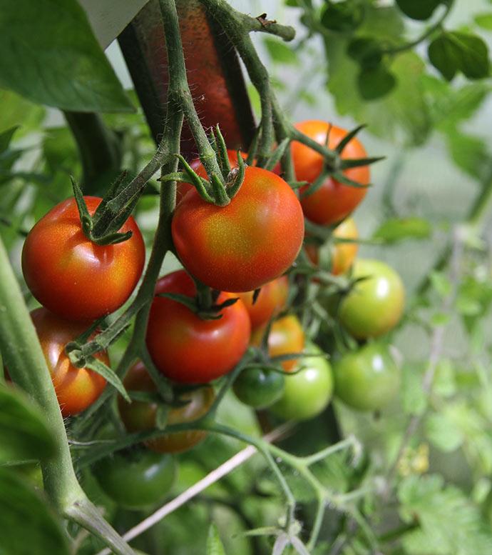 Gardeners Delight var den første med modne tomater.