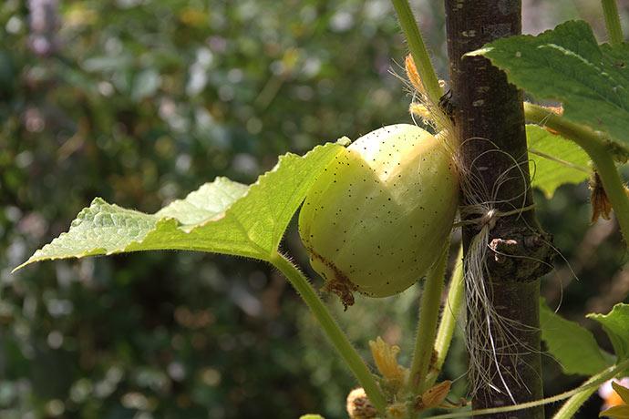 Citronagurken står på friland, men er nu begyndt at sætte agurker.