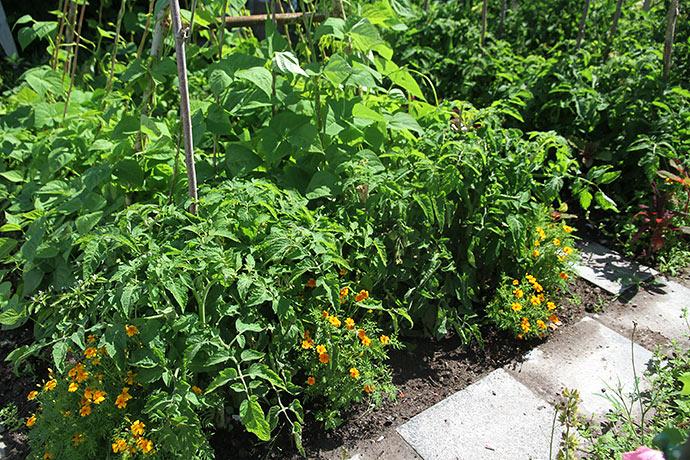 Frilandstomaten Bell Star har store grønne tomater, men de er helt skjult af den frodige vækst.