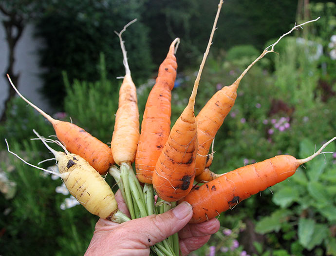 En håndfuld gulerødder til eftermiddagssnack inden aftensmaden.