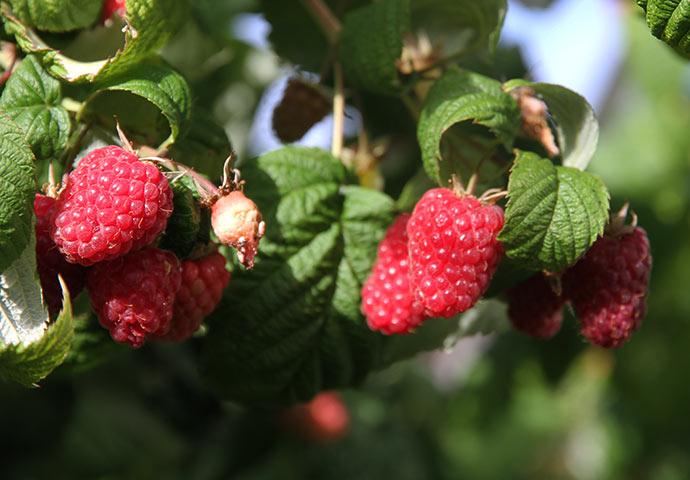 Der er masser af modne flotte hindbær nu. Det er sorten Veten., som jeg købte i 1978.