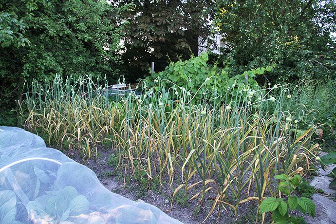 Alle planterne i hvidløgsbedet er angrebet af rust.
