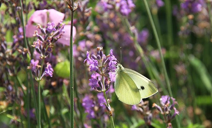 Kålsommerfuglenes yndlingsblomst er lavendel.