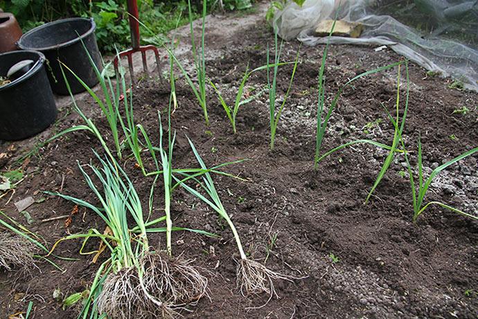 Jeg plantede 120 porreplanter med god afstand. De må klare sig uden bionet, håber at der ikke kommer porremøl forbi.