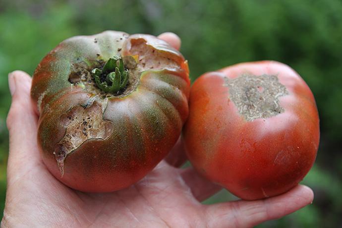 Bænkebiderne har smagt på Paul Robeson tomaterne.