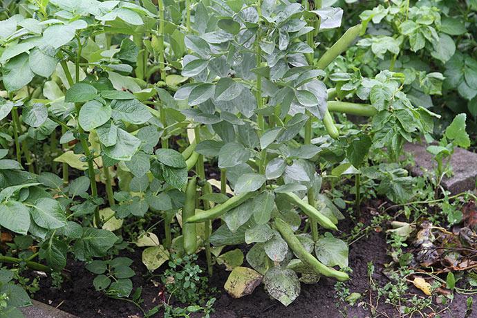 De valske bønner er næsten store nok nu. Og kartoflerne har nu rigeligt med vand igen.