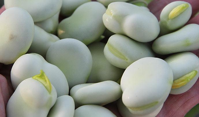 Store hvide bønner