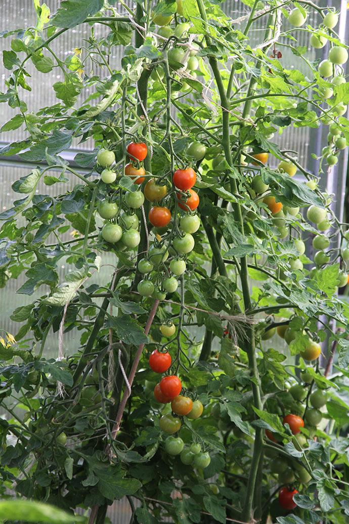 Frodig plante af Favorita i drivtunnelen.