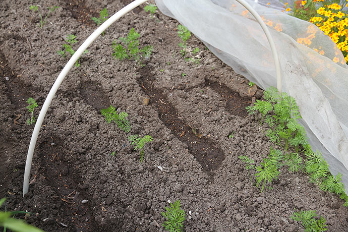 Gulerødderne har ikke spiret ret godt i bedet efter løgoptagningen.