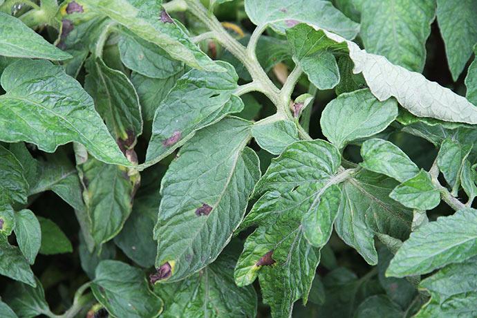 Kartoffelskimmelen breder sig. Der er angreb på næsten alle blade.