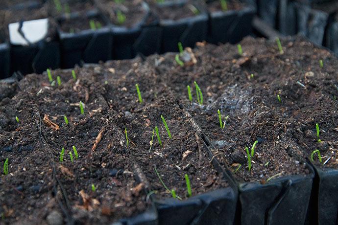 De små løgplanter spirer også godt frem i rootrainerene.