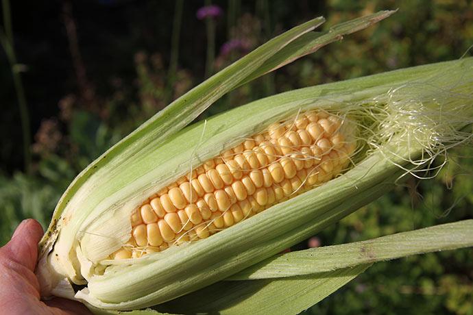 Lækker majskolbe af sorten Damaun. En tidlig ekstrasød majs, som oven i købet er frøfast. Fra frøfirmaet Bingenheimer.