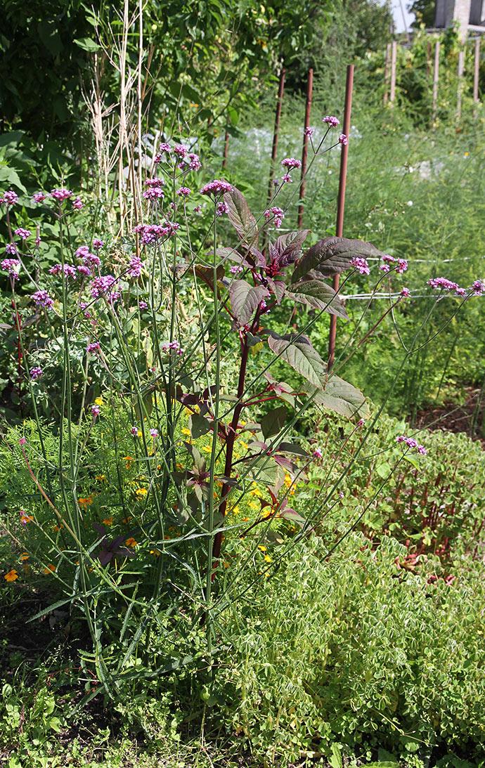 Mangfoldighed i et bed med oka i bunden og i enden af bedet står kæmpe jernurt med de lilla blomster.