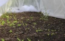 Salat sået på friland og dækket med to lag fiberdug under spiringen. Nu er der sat fiberdug over for at holde solsorten væk fra at lede efter regnorme.