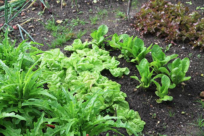 Salaten mangler ikke vand i denne sommer.