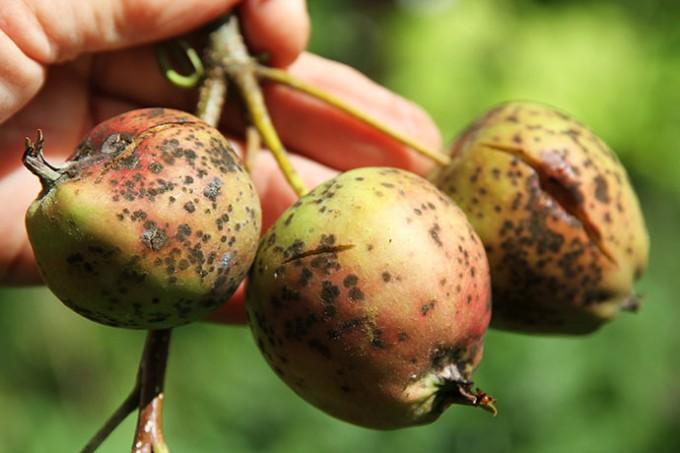 Golden Delicious er et sart æble, som let angribes af skurv.
