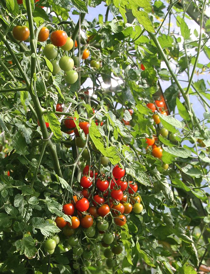 Et udsnit af en ret omfangsrig Favorita tomatplante.
