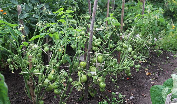 Nu må jeg se, om tomaterne kan modne færdig stort set uden blade.