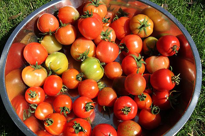 Tomaterne da de blev plukket på friland.