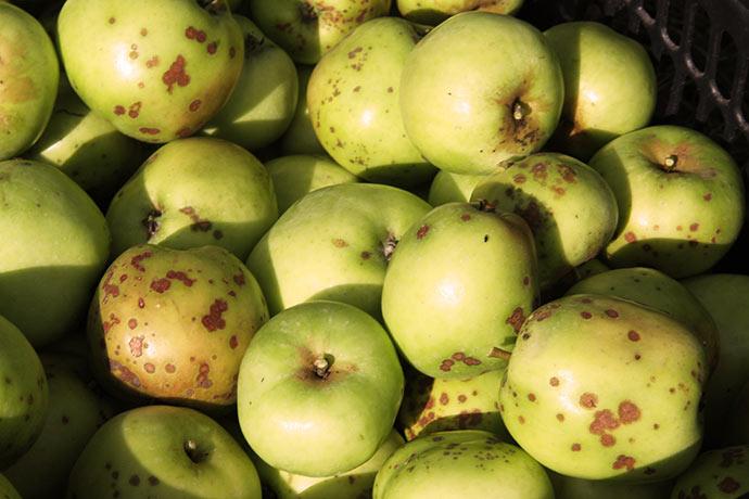 I år har jeg været nødt til også at plukke æbler med skurv og små æbler ned til at gemme.