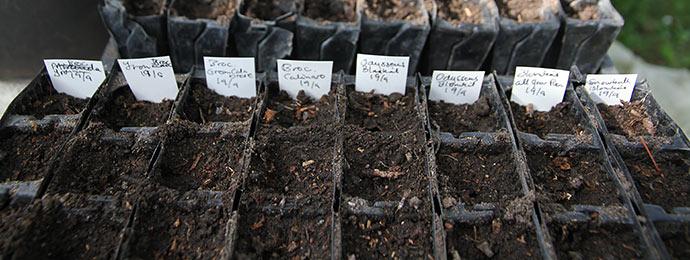 Disse sorter af blomkål og broccoli er der sået en hel rootrainer til med.