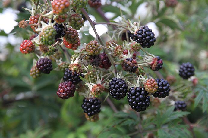 Mine tornfri brombær skal ikke plukkes, når de bliver sorte - bærrene skal svulme og sidde lidt løse, før de smager fantastisk.