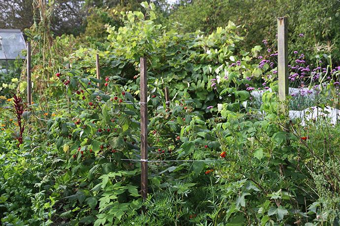 Hindbærbedet blev plantet sidste år, men alligevel har det nået at sætte gode skud med mange hindbær.