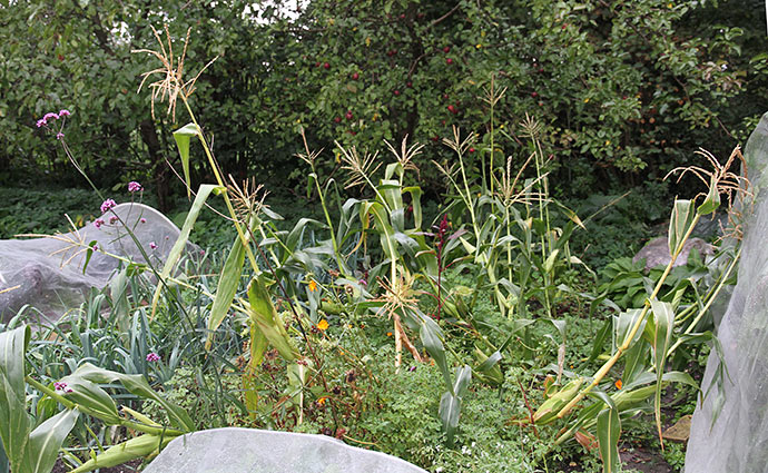 Stormen har lagt majsplanterne ned i alle retninger.