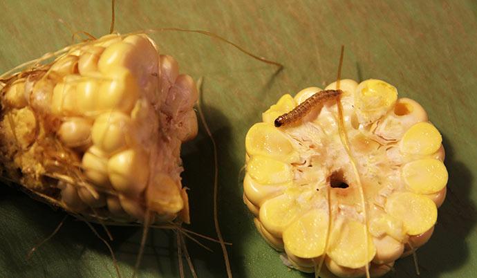Ærgerligt at vi nu også skal slås med en larve i majs.