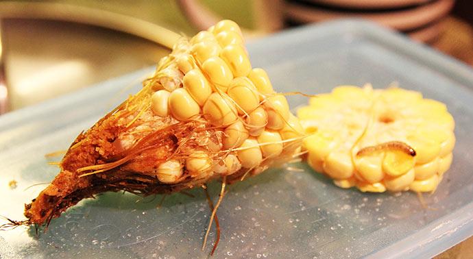 Spidsen af majsen så underlig ud, og der var lidt begyndende råd.