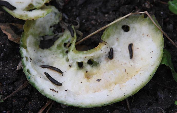 En krum agurk er blevet halveret og fungerer nu som sneglefælde.