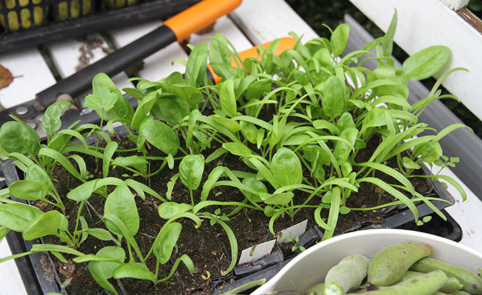 Spinat til udplantning på friland sat til afhærdning.