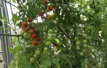 Favorita giver stadig mange fine modne tomater.