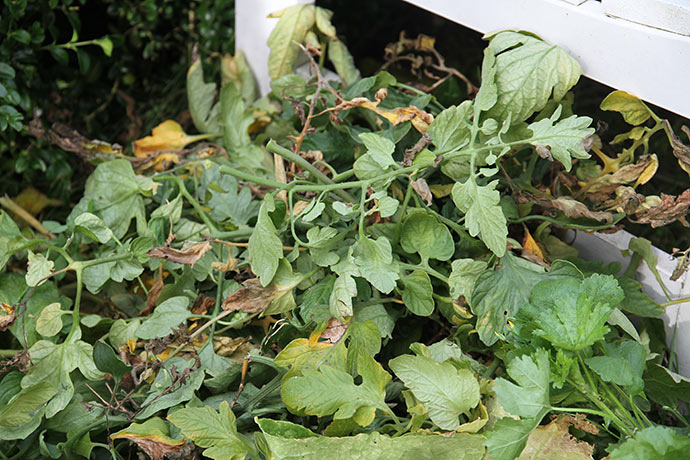 Fjernede tomatblade fra drivhuset.