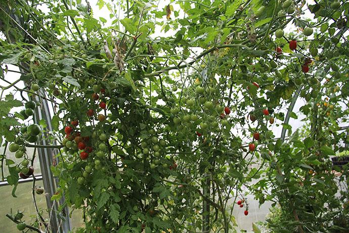 Der er mange grønne tomater stadigvæk.