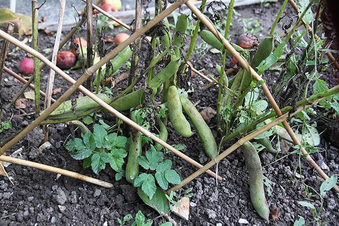 Genvækst af valsk bønne giver ny høst.