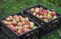 To kasser med Jonagold æbler - årets høst.