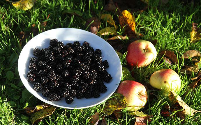 Morgensol, brombær, æbler og nedfaldne blade.