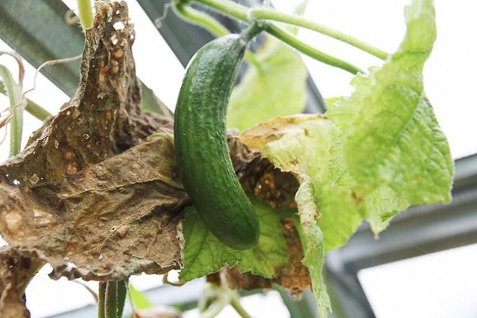 Sidste agurk plukkes i drivtunnelen.