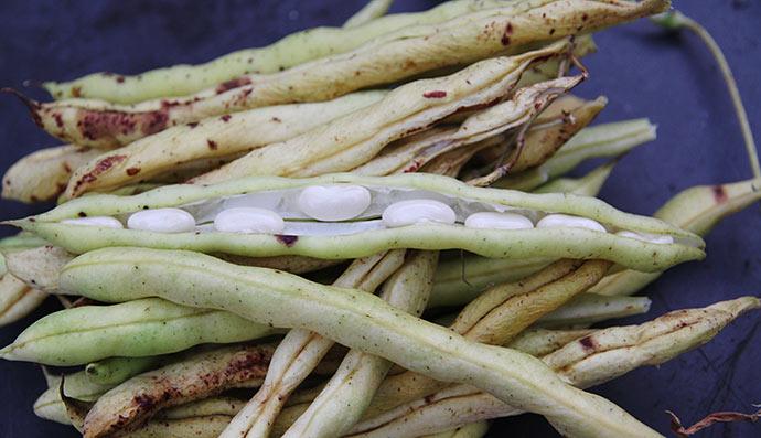 Fine hvide bønner inde i de bløde bælge.