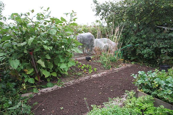 Bedet til udplantning af løg er gjort klart. De store planter er yakon.