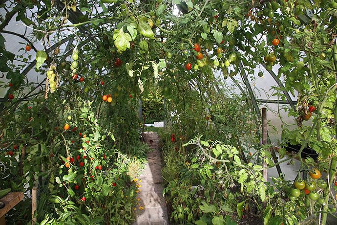 Der er stadig et grønt virvar af tomater, chili og peberfrugter, selv om mange blade efterhånden er fjernet.