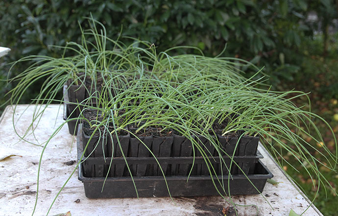 To rootrainer med løgplanter står tilafhærdning på havebordet.
