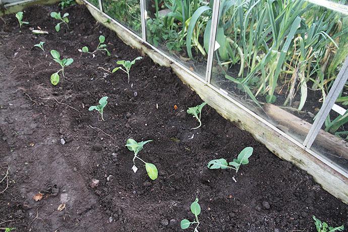 Spidskål plantet ud til overvintring i drivhuset den 27. oktober.