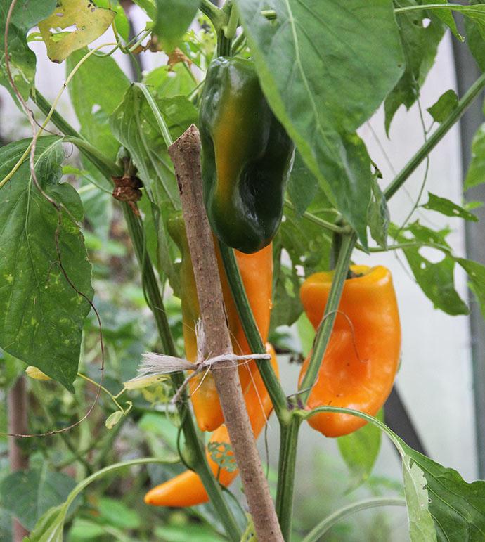 De sidste gule peberfrugter er ved at være modne.